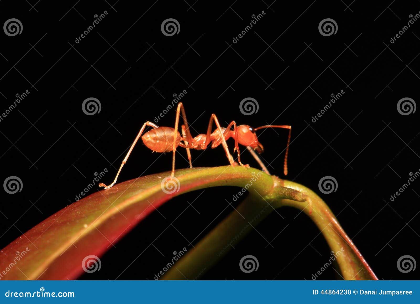 Hormiga que camina en las ramitas
