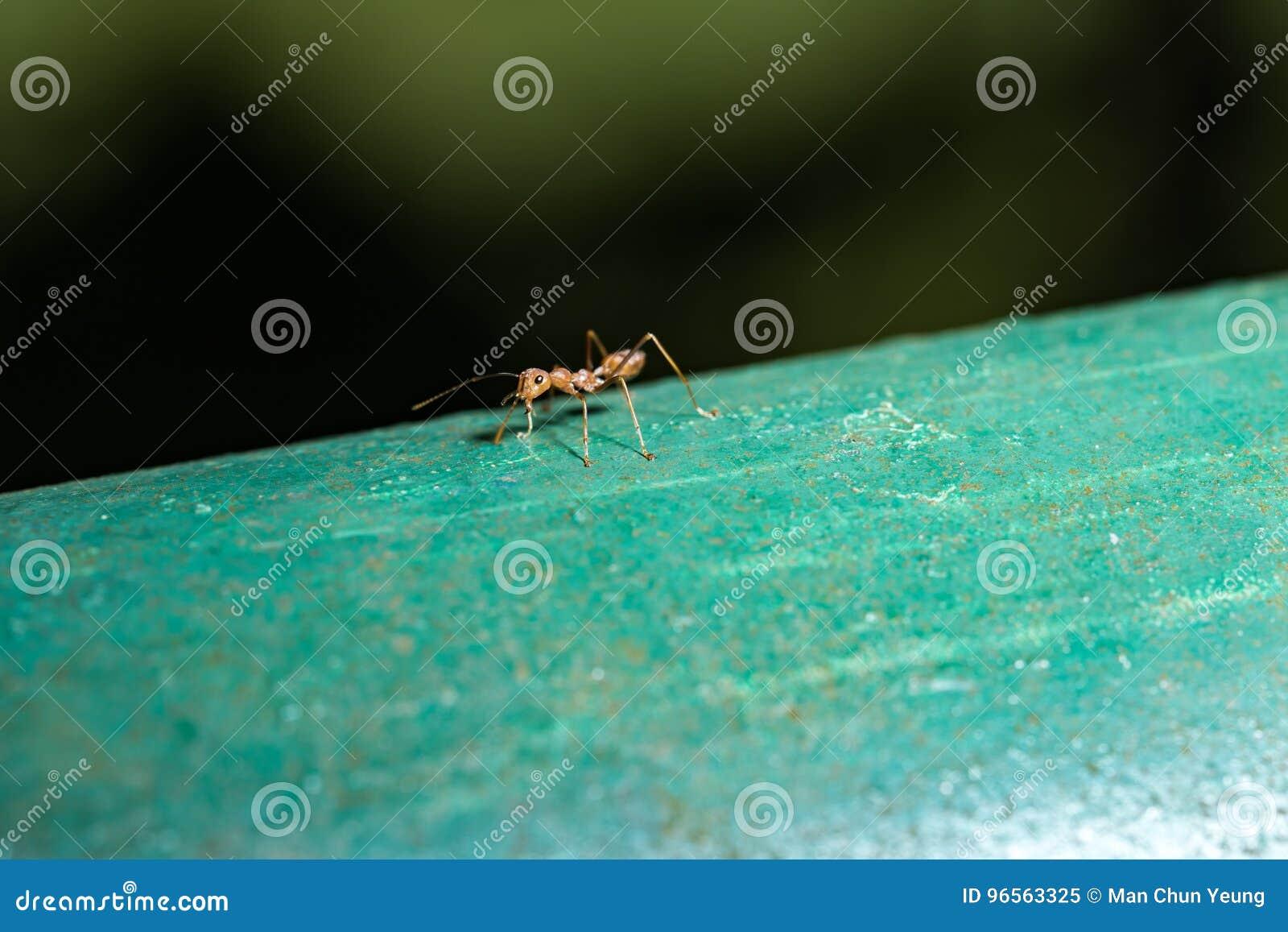 Hormiga roja imagen de archivo. Imagen de anatomía, flash - 96563325