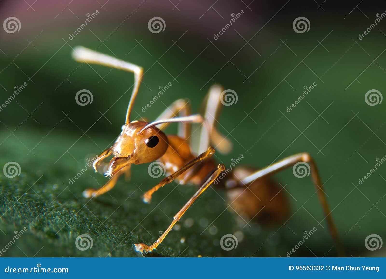 Hormiga roja foto de archivo. Imagen de flash, ecología - 96563332