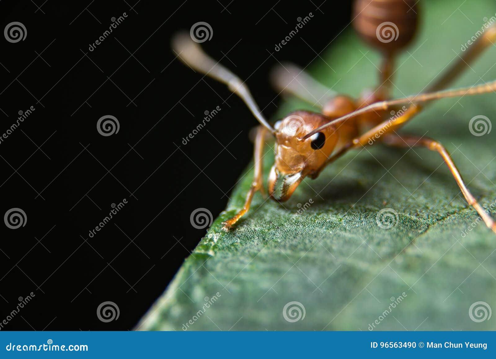 Hormiga roja foto de archivo. Imagen de anatomía, piernas - 96563490