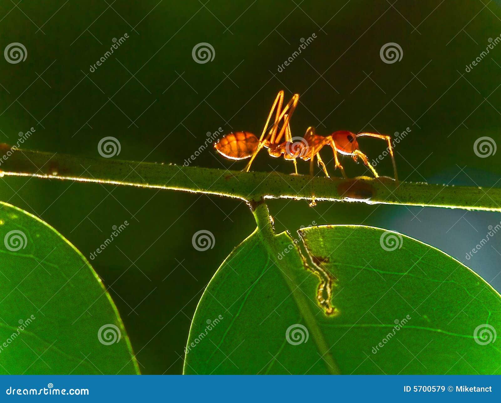 Hormiga a solas
