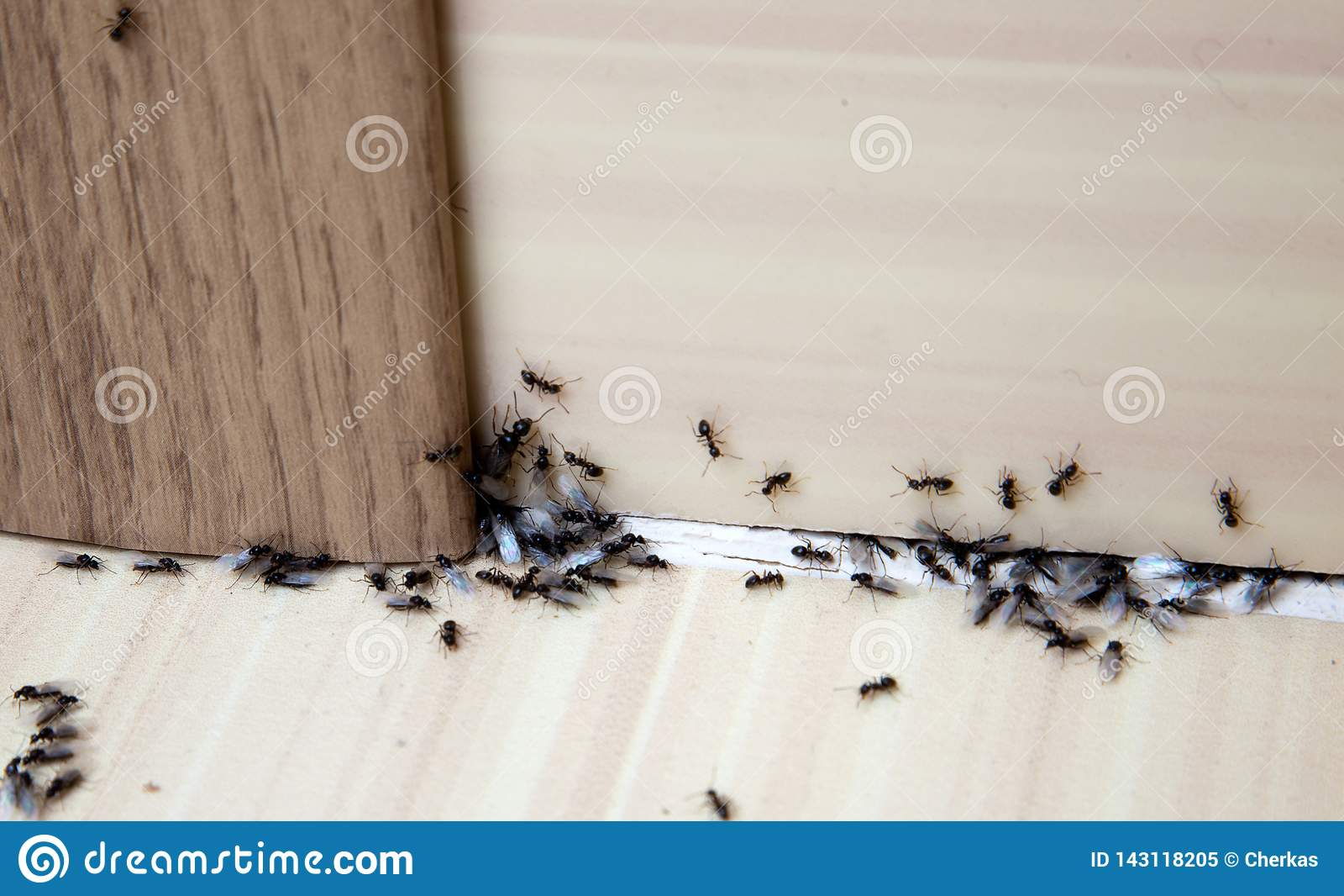 Hormigas en la casa