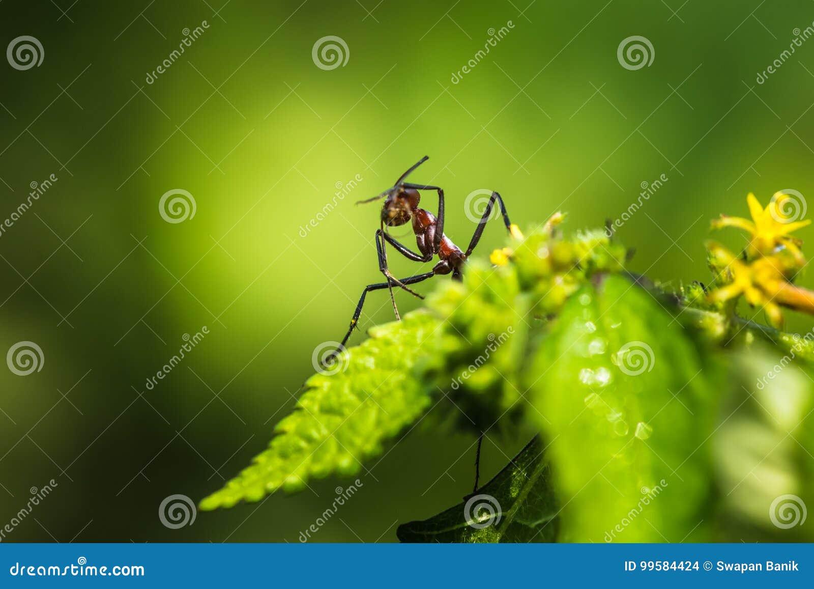Hormigas gigantes rojas que picotean