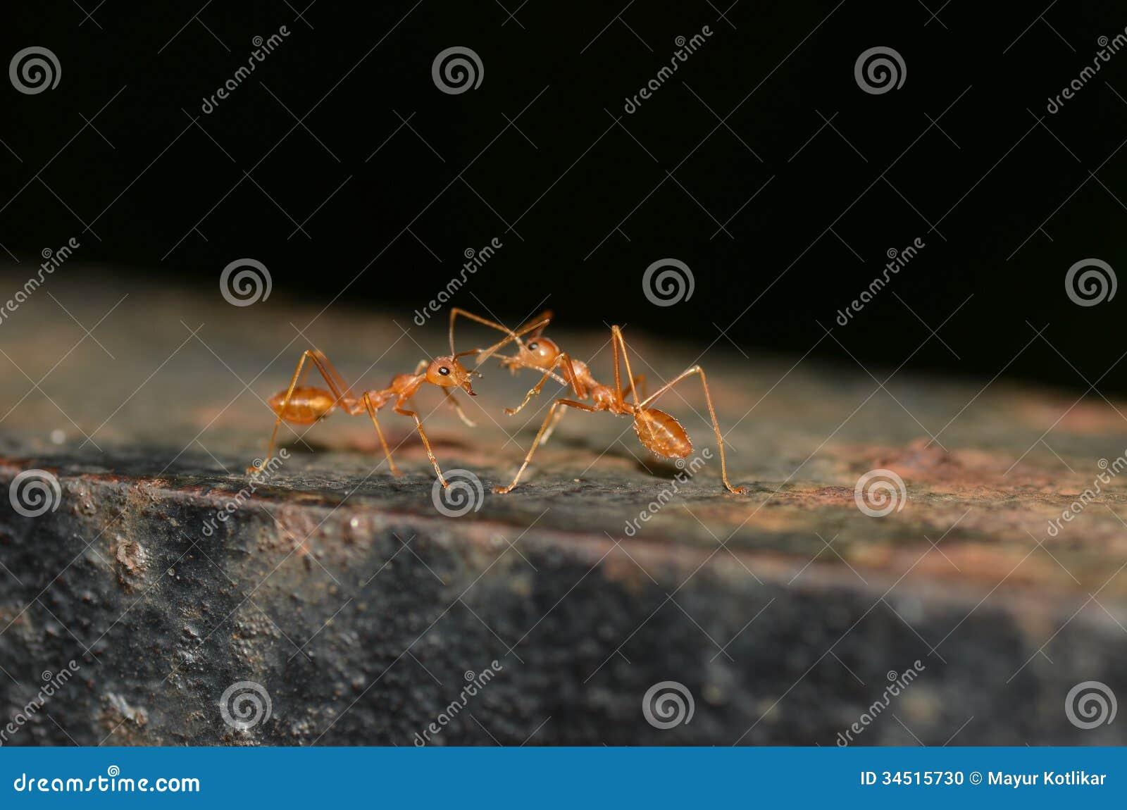 2 hormigas que comunican