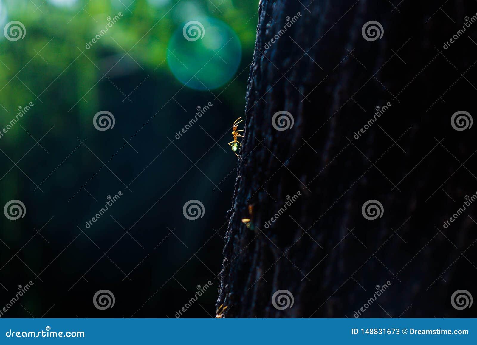 Hormigas verdes del ?rbol en un viaje