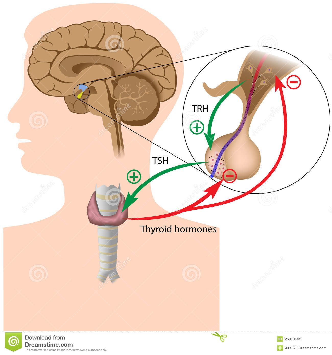 Difference Between Food Allergy And Food Intolerance furthermore Stock Photography Hormone Negative Feedback Loop Image26879632 moreover 4468182 besides Asthma besides Rhodiola Rosea Benefits. on pregnancy circulatory system