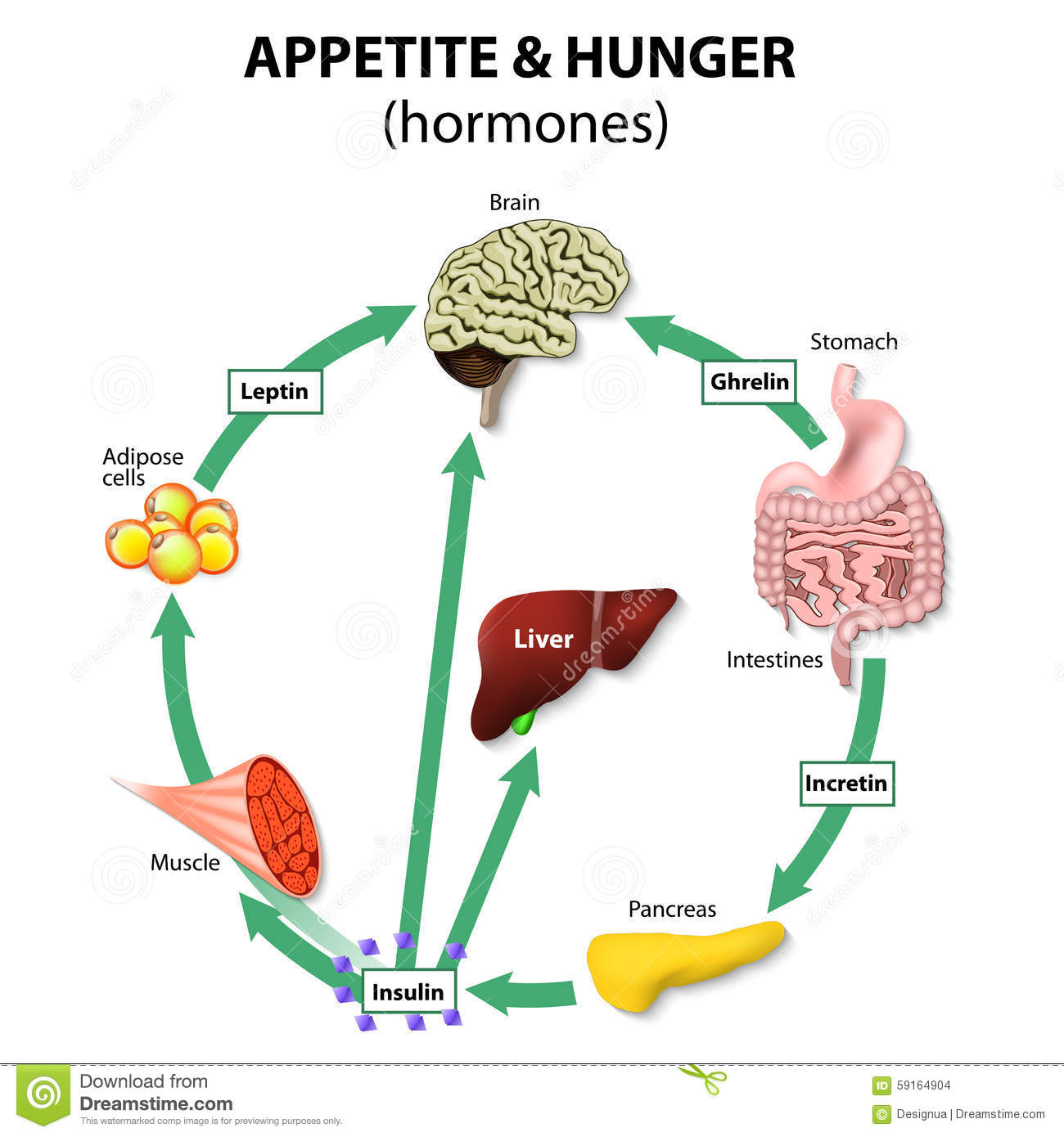 Hormones appetite & hunger stock photo. Image of liver