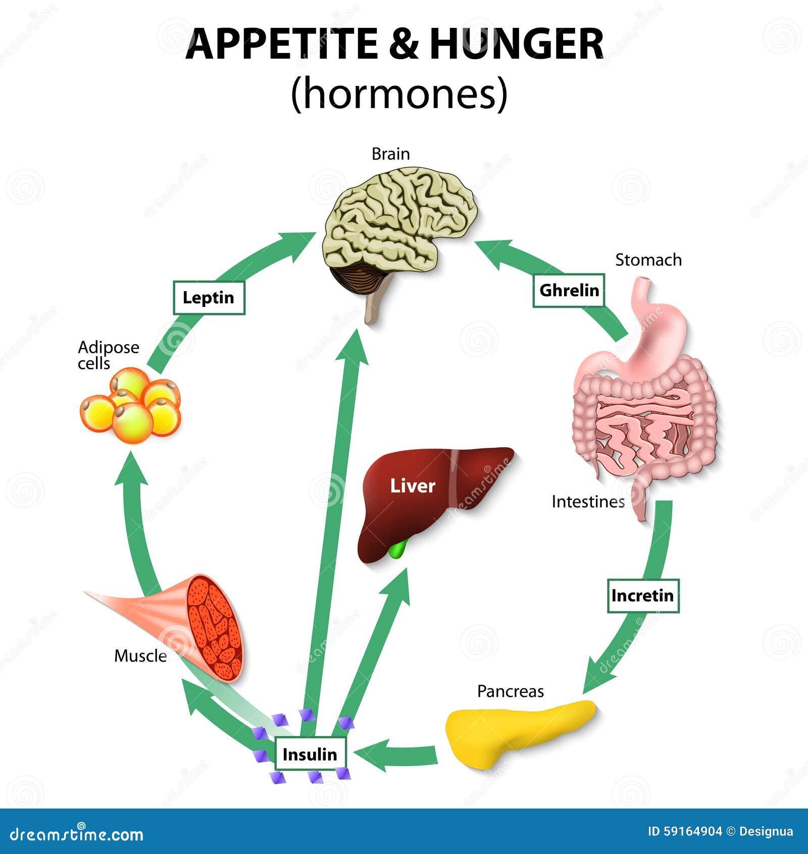 Hormones appetite & hunger. Human endocrine system. Incretin, ghrelin ...