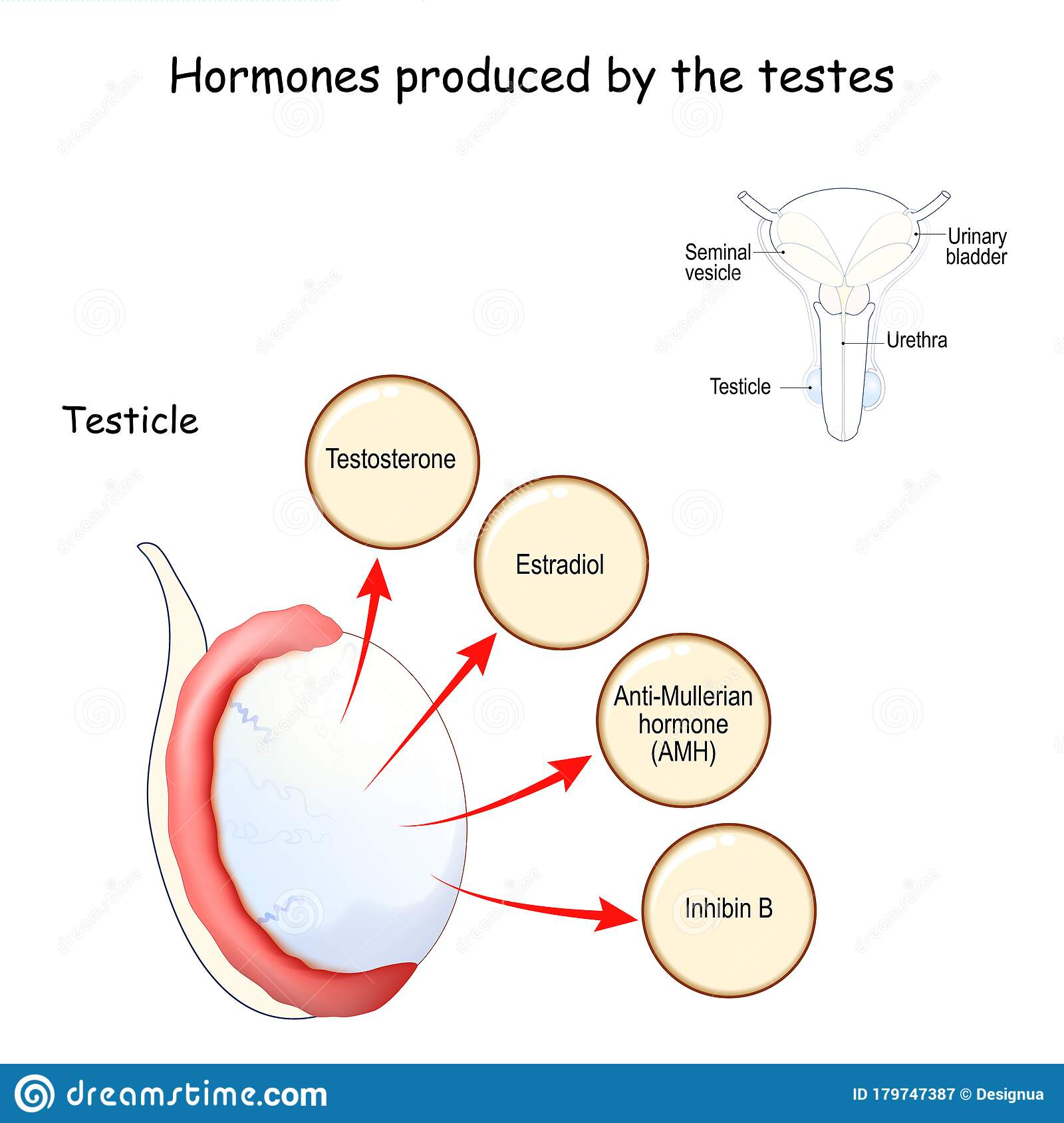what is produced in the testes