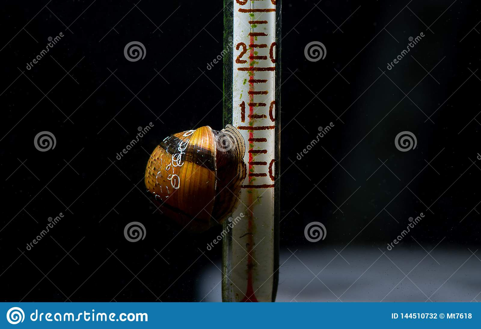 Horn snail eat lichen on thermometer with dark background
