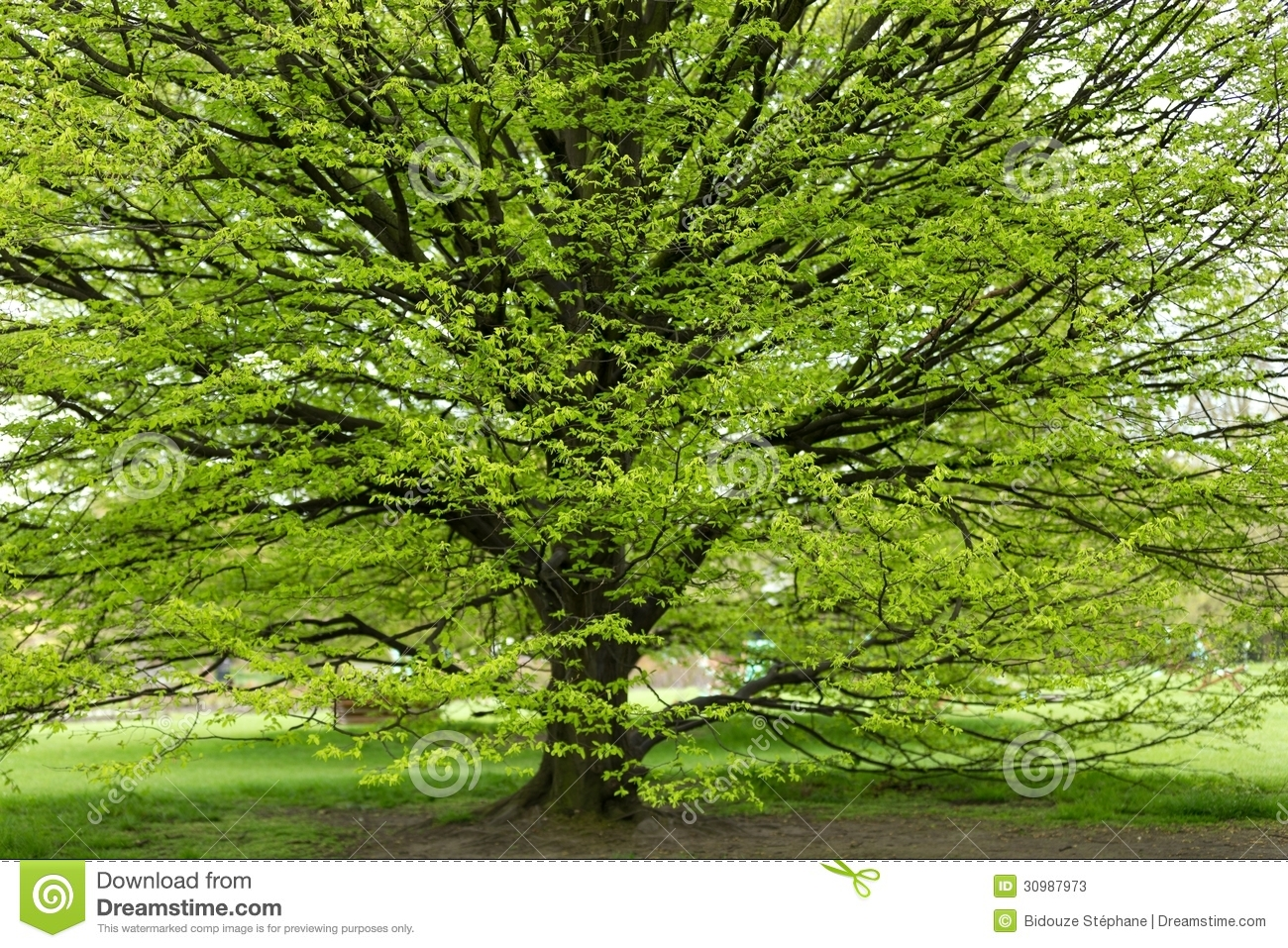 Hornbeam Tree At Spring Stock Photos Image 30987973