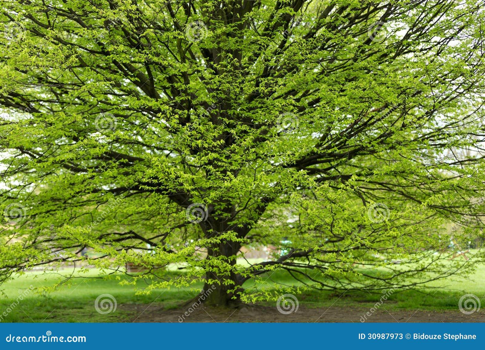 hornbeam tree at spring stock photos image 30987973. Black Bedroom Furniture Sets. Home Design Ideas