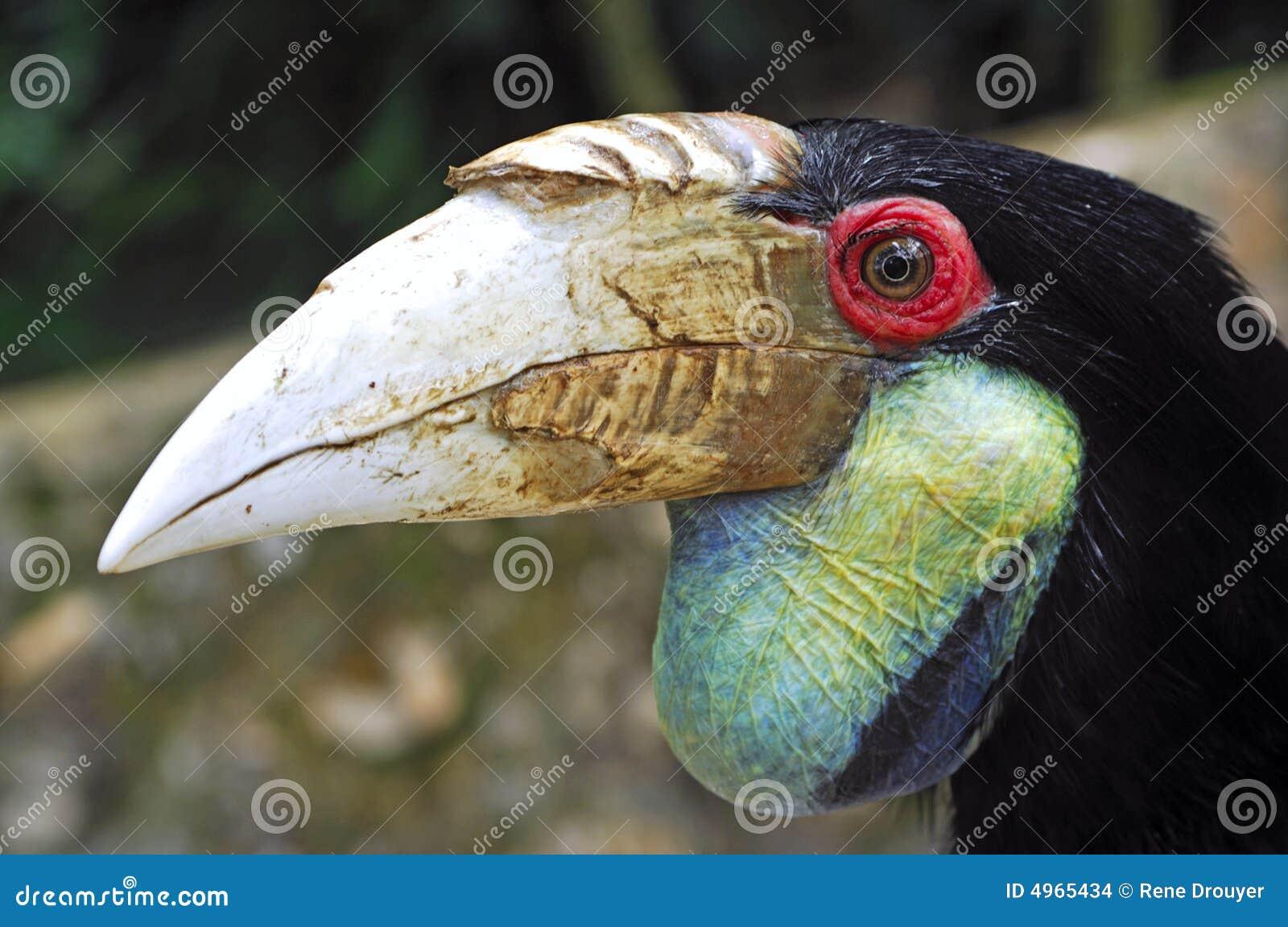 Hornbill Индонесия