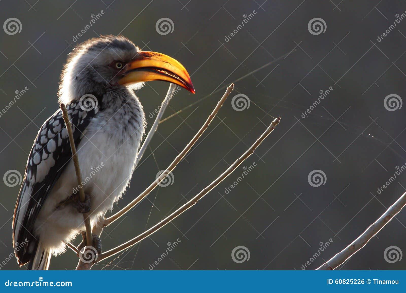 Hornbill Amarillo-cargado en cuenta en Zimbabwe