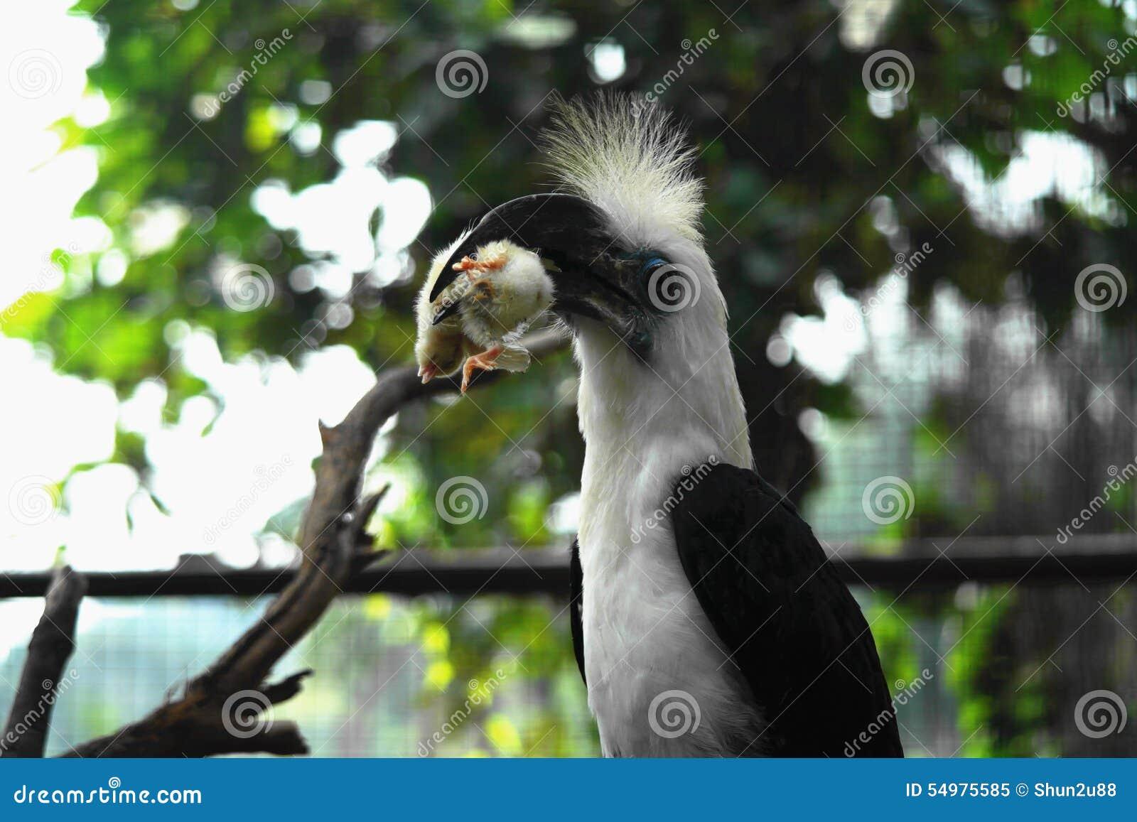 Hornbillfågel i Borneo Sarawak
