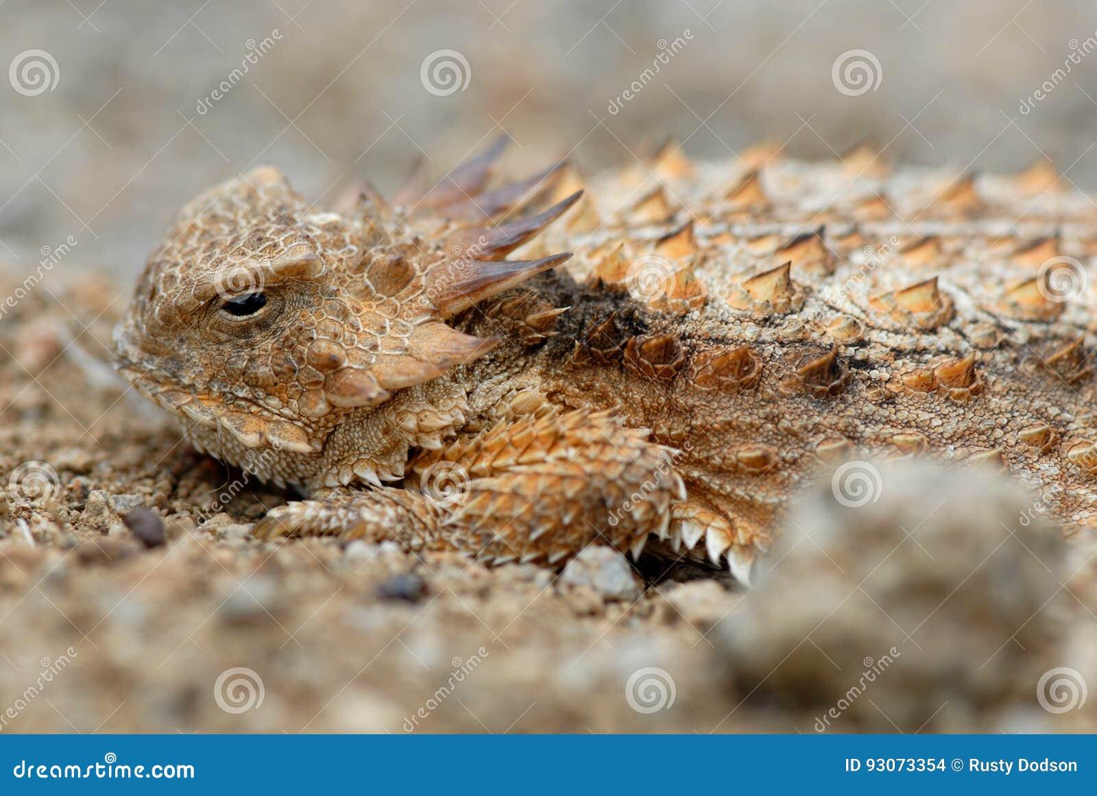Horned ящерица