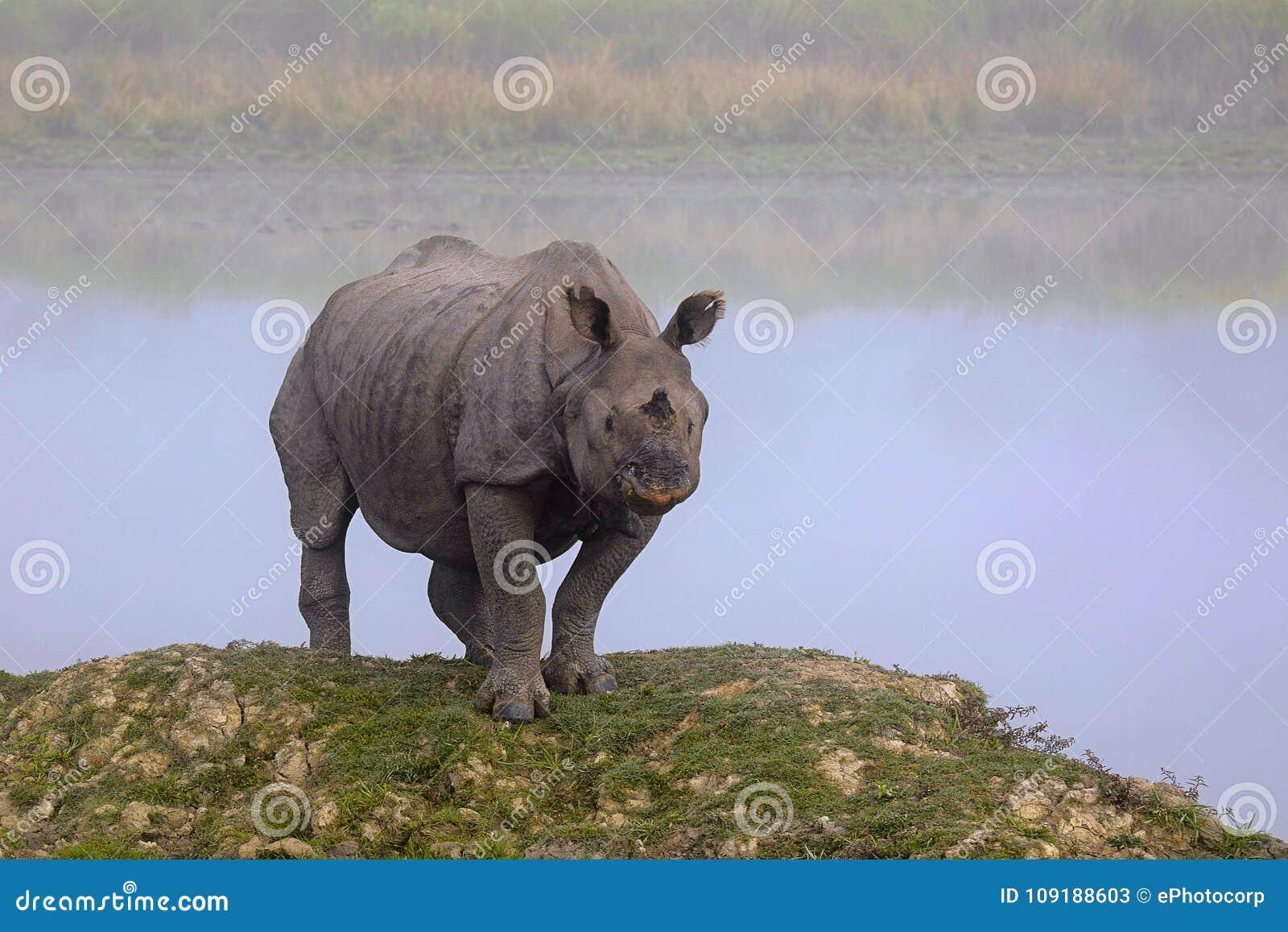 Horned noshörning för indier en, noshörningunicornis