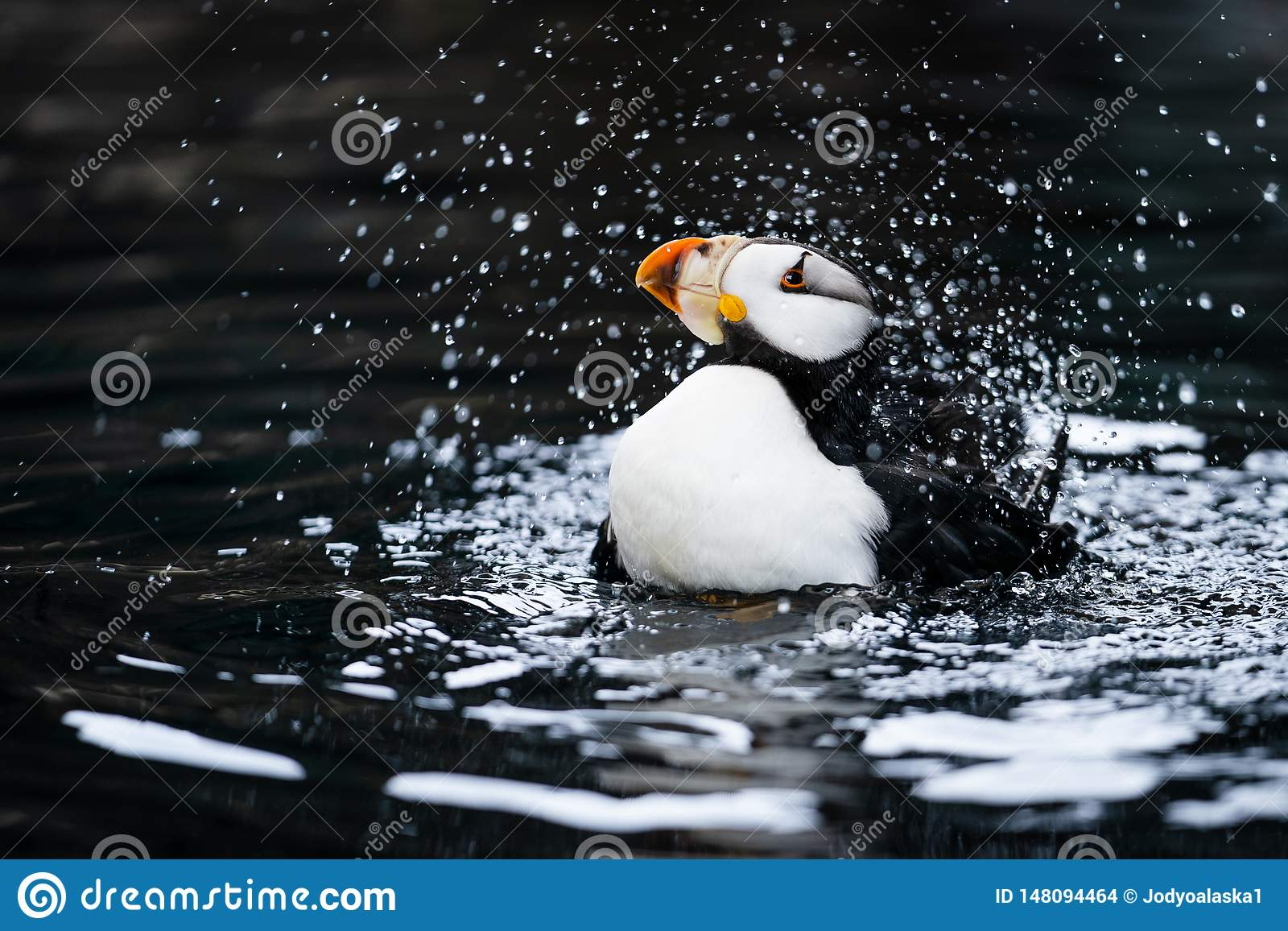 Horned Puffin Making a Big Splash