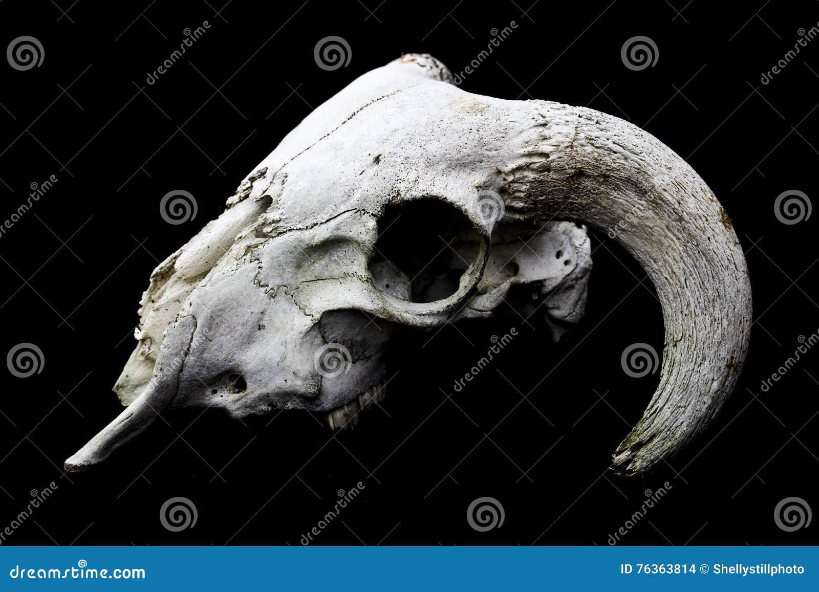 Horned Ram Sheep Skull Head On Black Background Stock Photo - Image ...