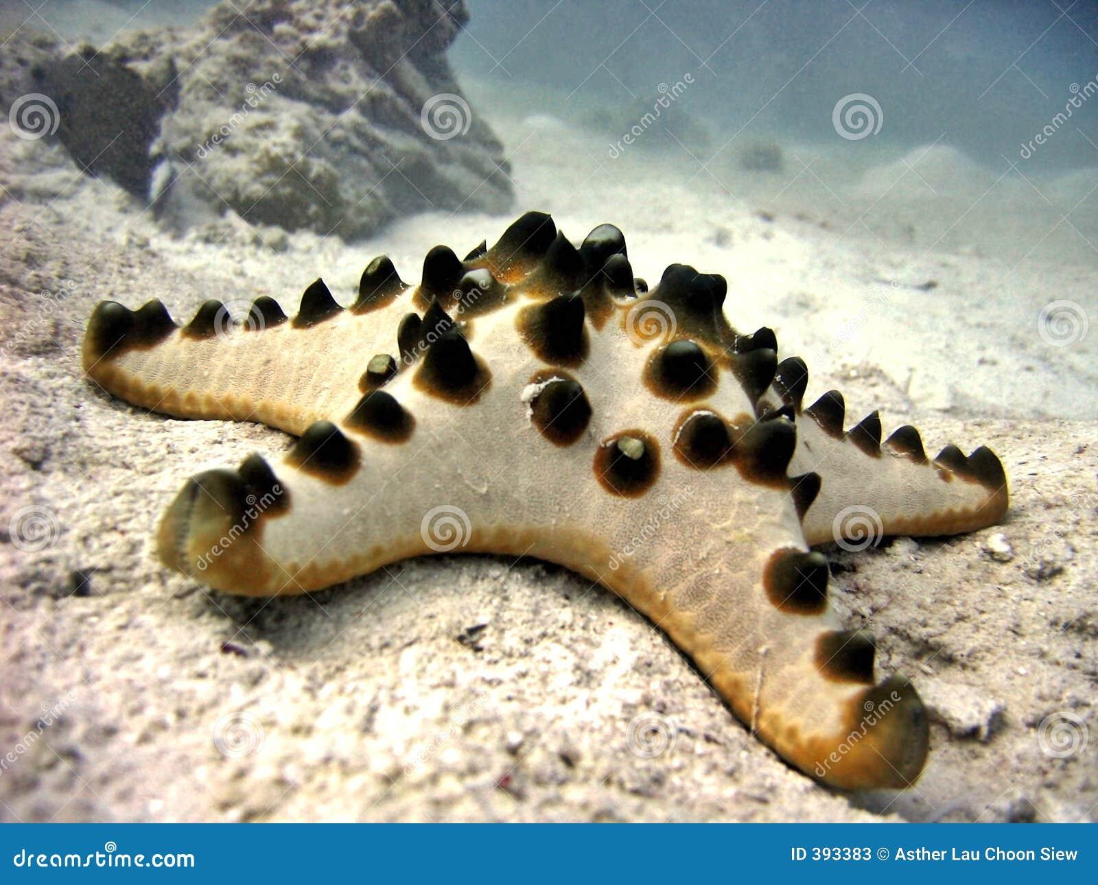 Horned Starfish Stock Photos - Image: 401023