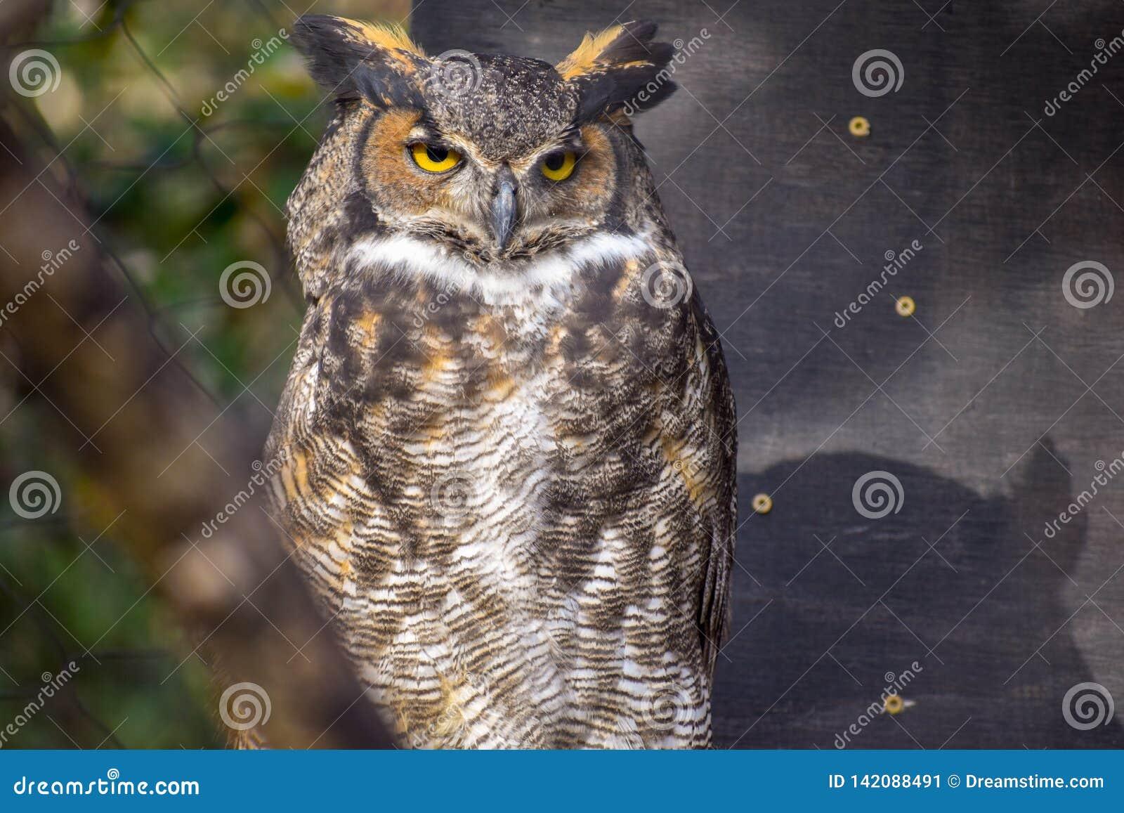 Horned uggla med ljusa ögon som ser av till rätten