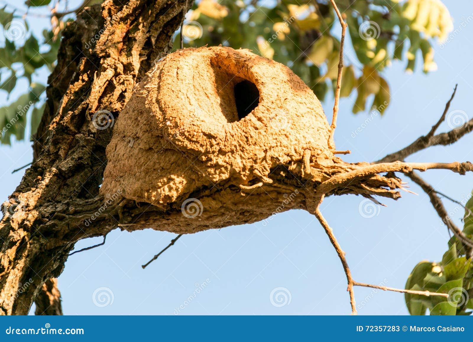 Hornero鸟巢