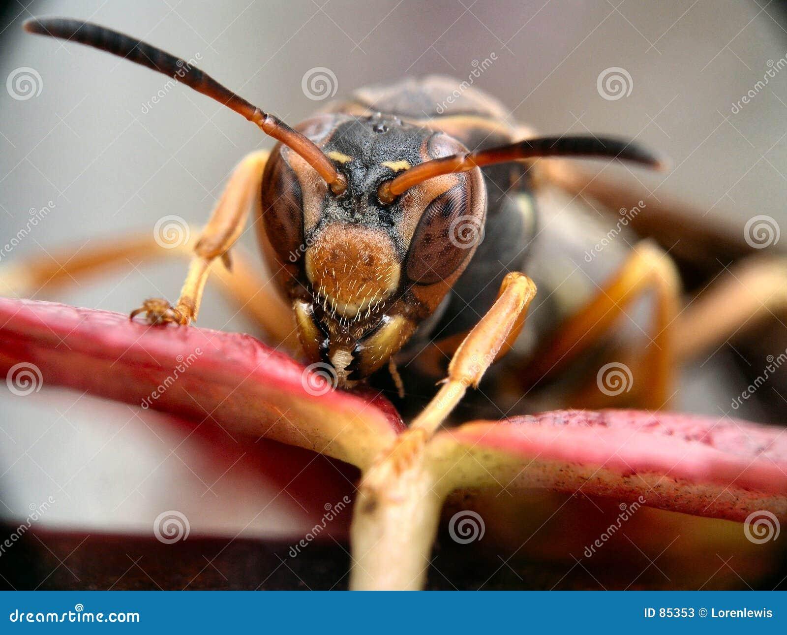 Hornet φύλλο
