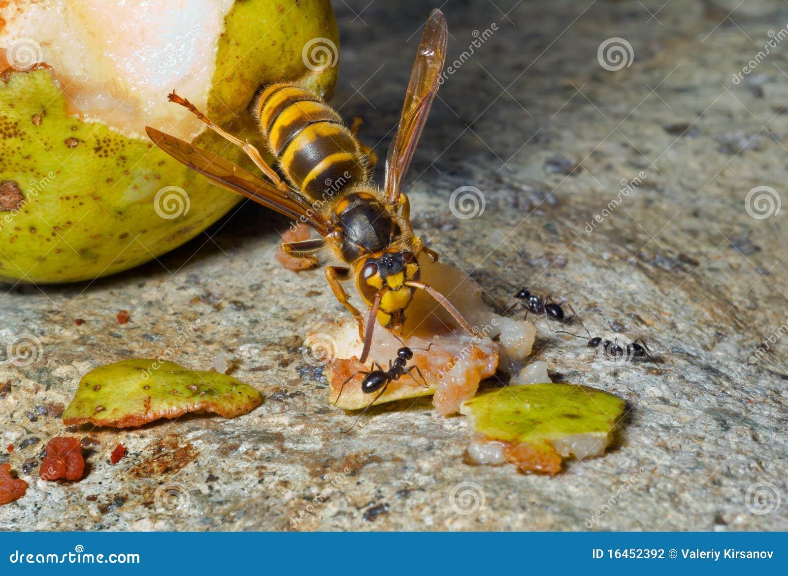 Hornet 13