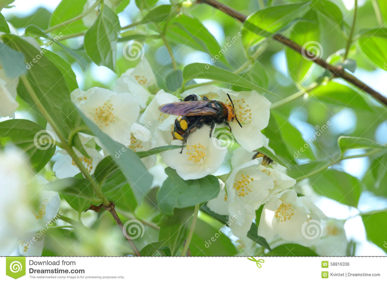 Hornet collects nectar from the flower of jasmine plants 2 stock download hornet collects nectar from the flower of jasmine plants 2 stock photo image izmirmasajfo