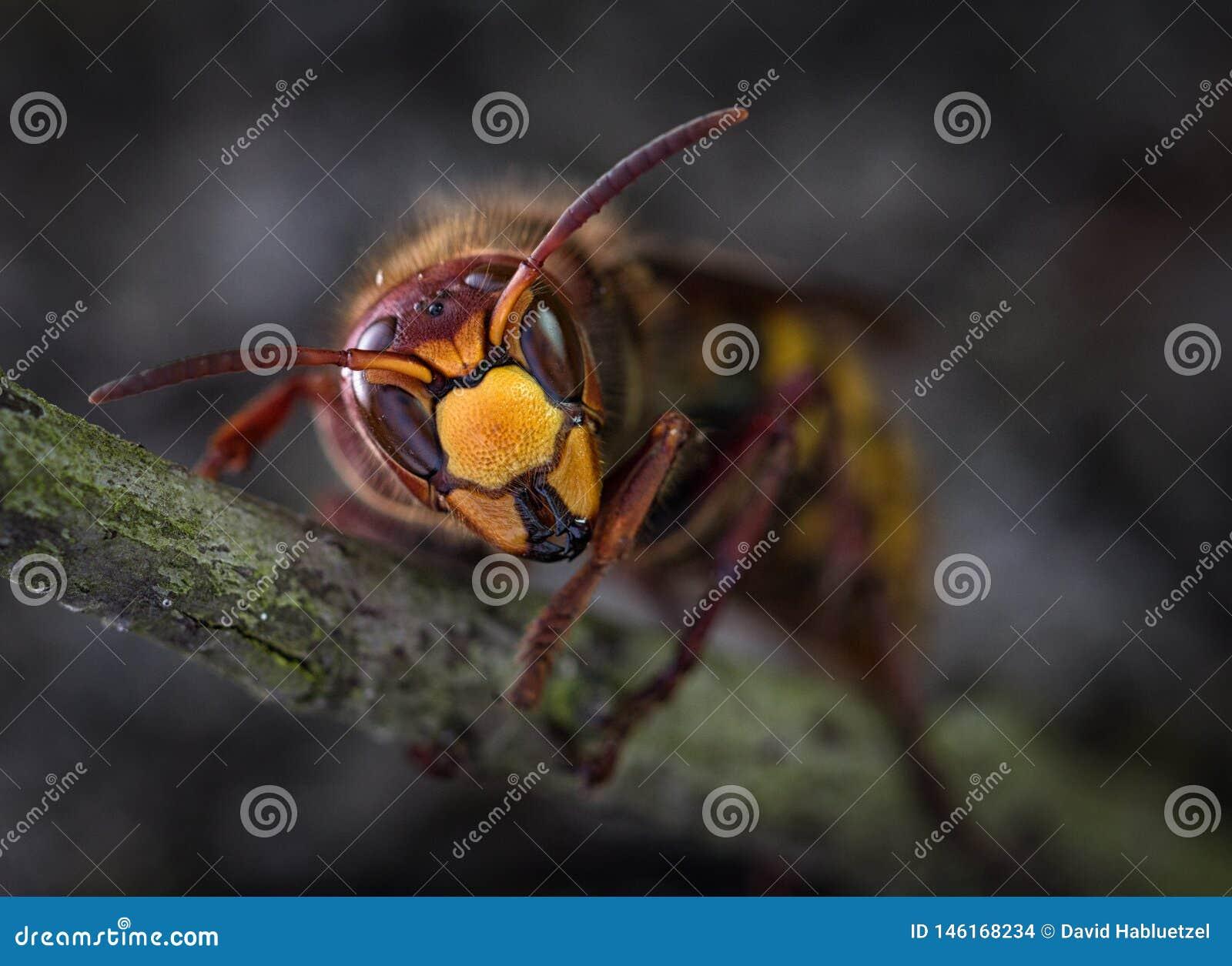 Hornet queen ready for winter