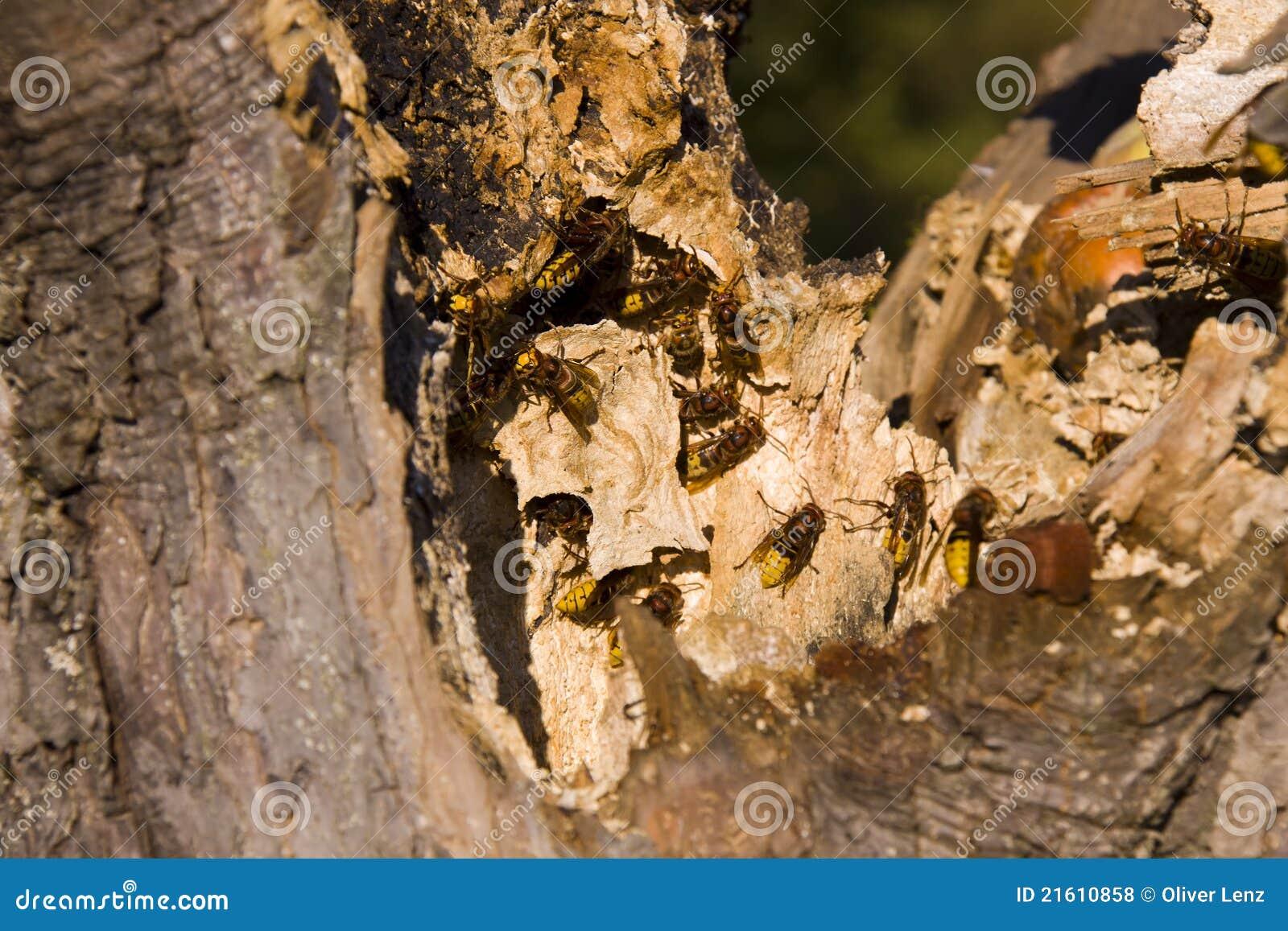Hornets Nesting In Tree Stump Royalty Free Stock Photos ...