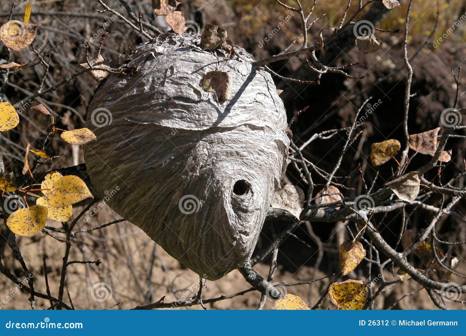 Hornisse-Nest