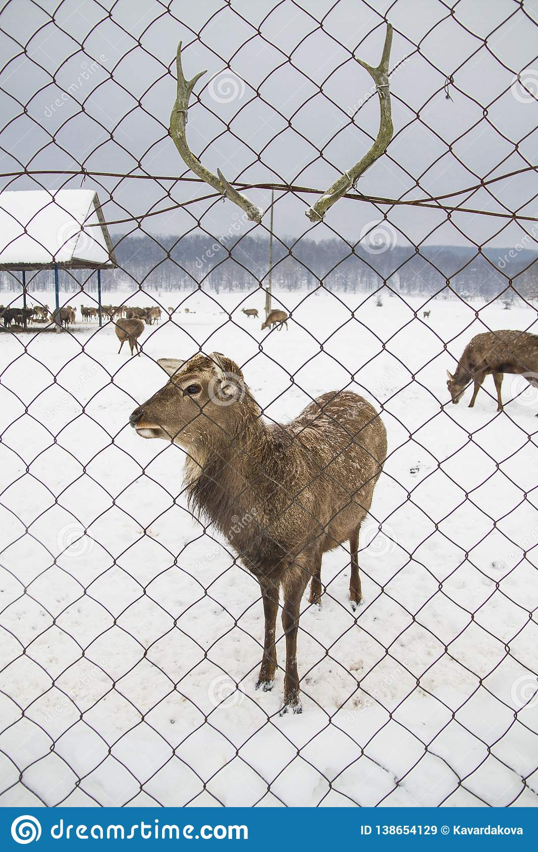 Deer against the background of their antler