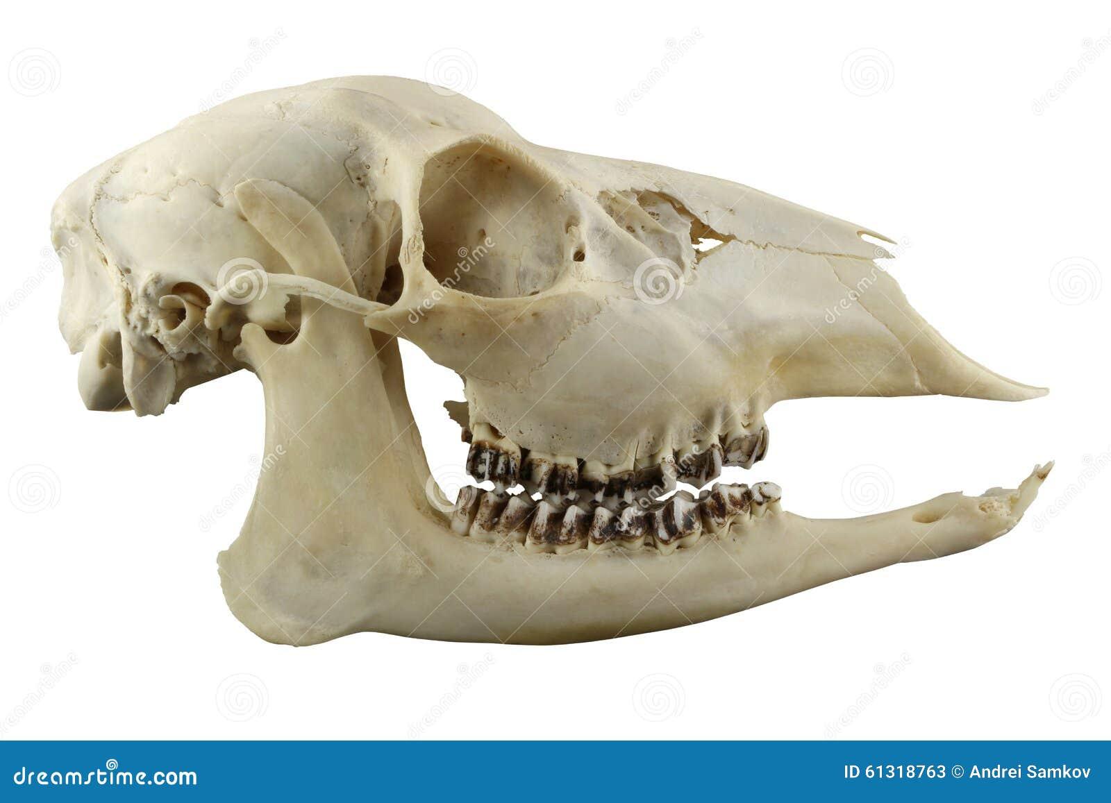 Hornless Roe Deer Skull On A White Background Stock Image - Image of ...