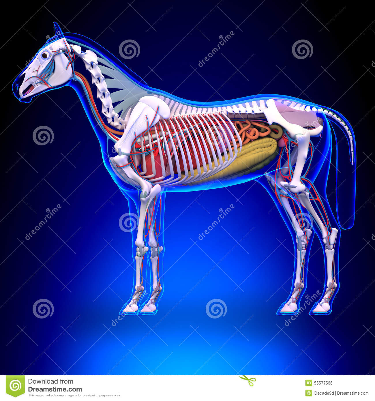 Horse Anatomy - Internal Anatomy Of Horse Stock Illustration ...