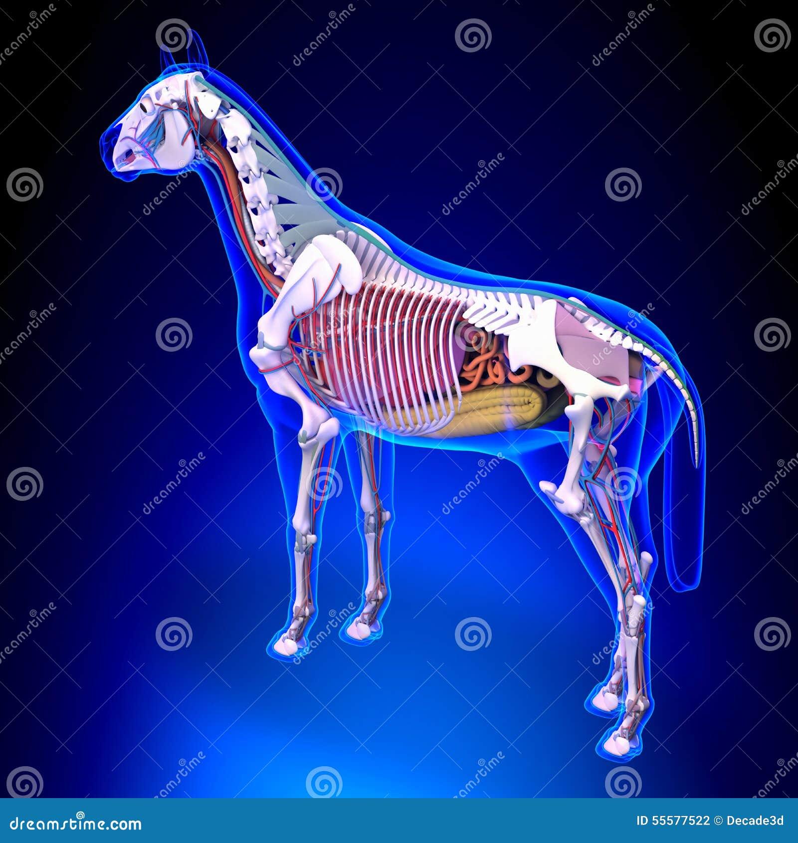 Horse Anatomy - Internal Anatomy Of Horse Back View On Blue Back ...