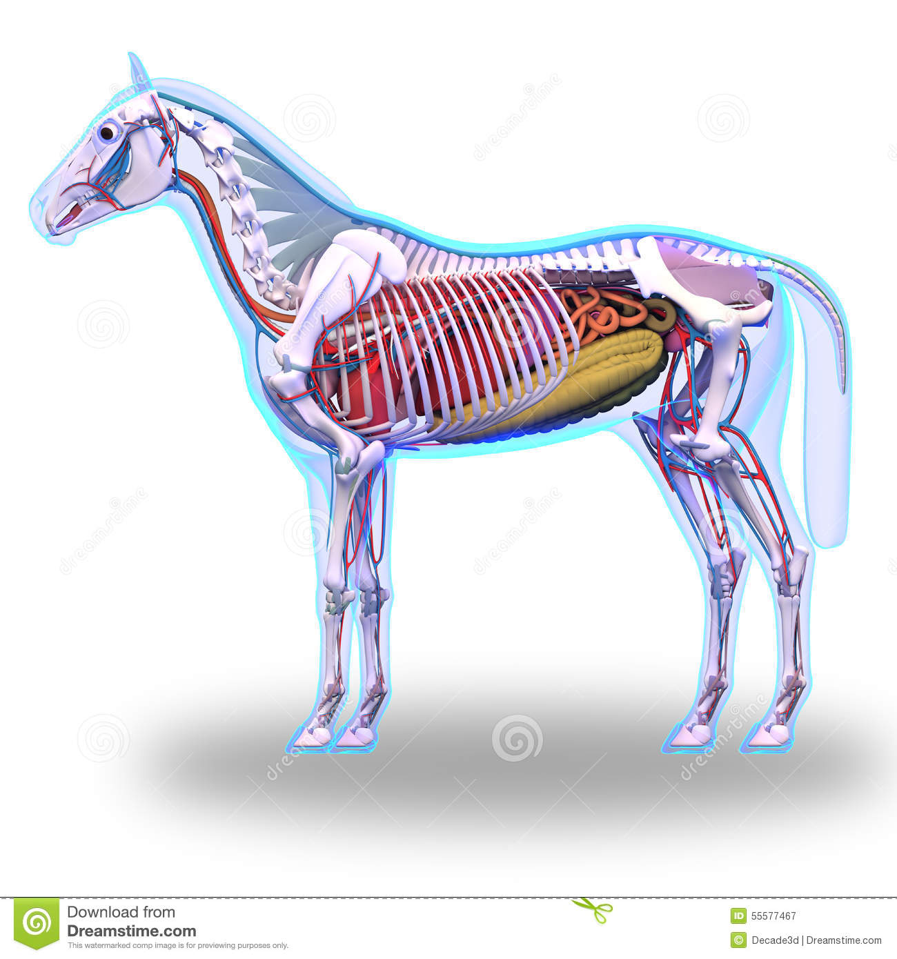Horse Brain And Spinal Cord - Horse Equus Anatomy - Isolated On ...