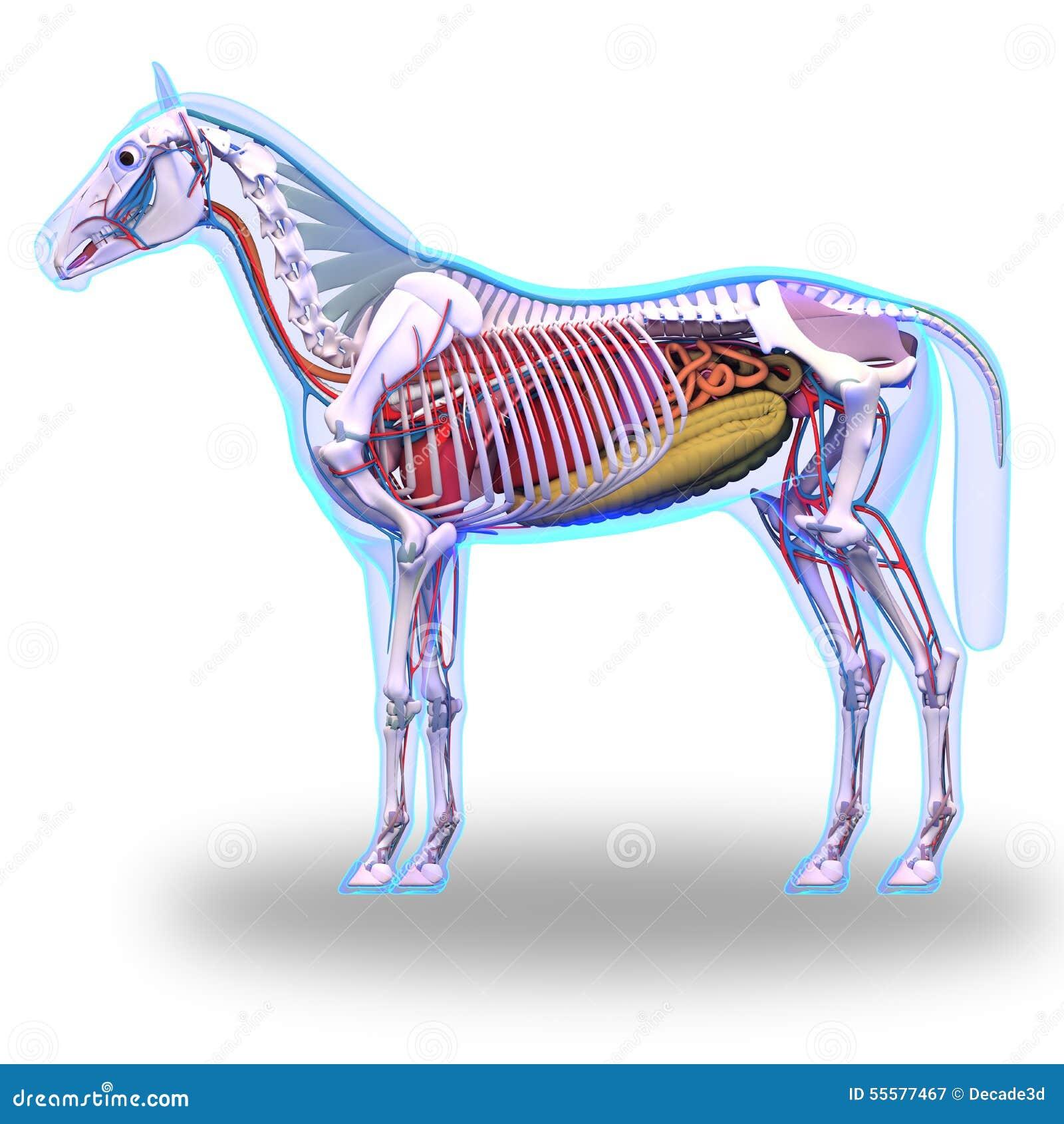Horse Anatomy - Internal Anatomy Of Horse Isolated On White Stock ...