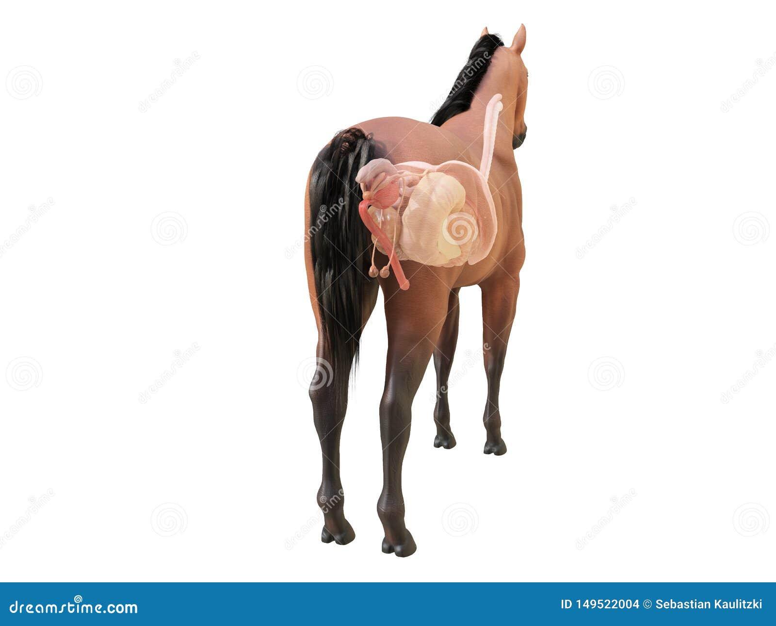 The Horse Anatomy Internal Organs Stock Illustration Illustration Of Health Orthopedic 149522004