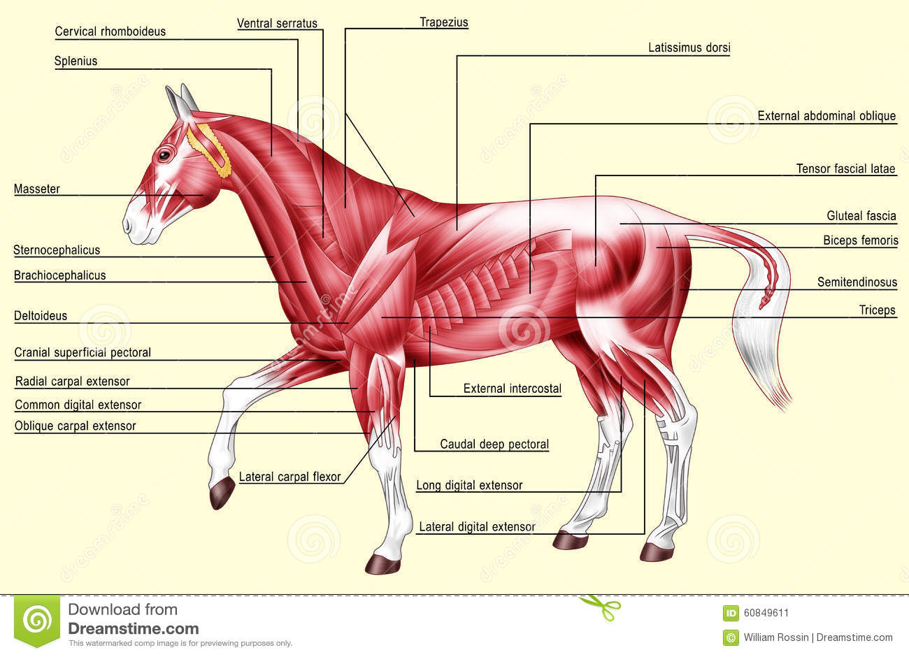 Horse anatomy - Muscles stock illustration. Illustration of system ...