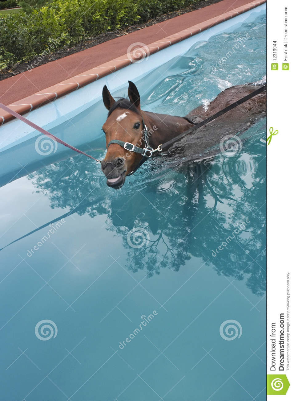 Horse aquatic training stock images image 12319944 for Negative show pool horse racing