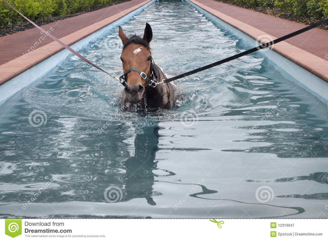 Horse aquatic training stock image image of training 12319947 for Swimming pool certification course