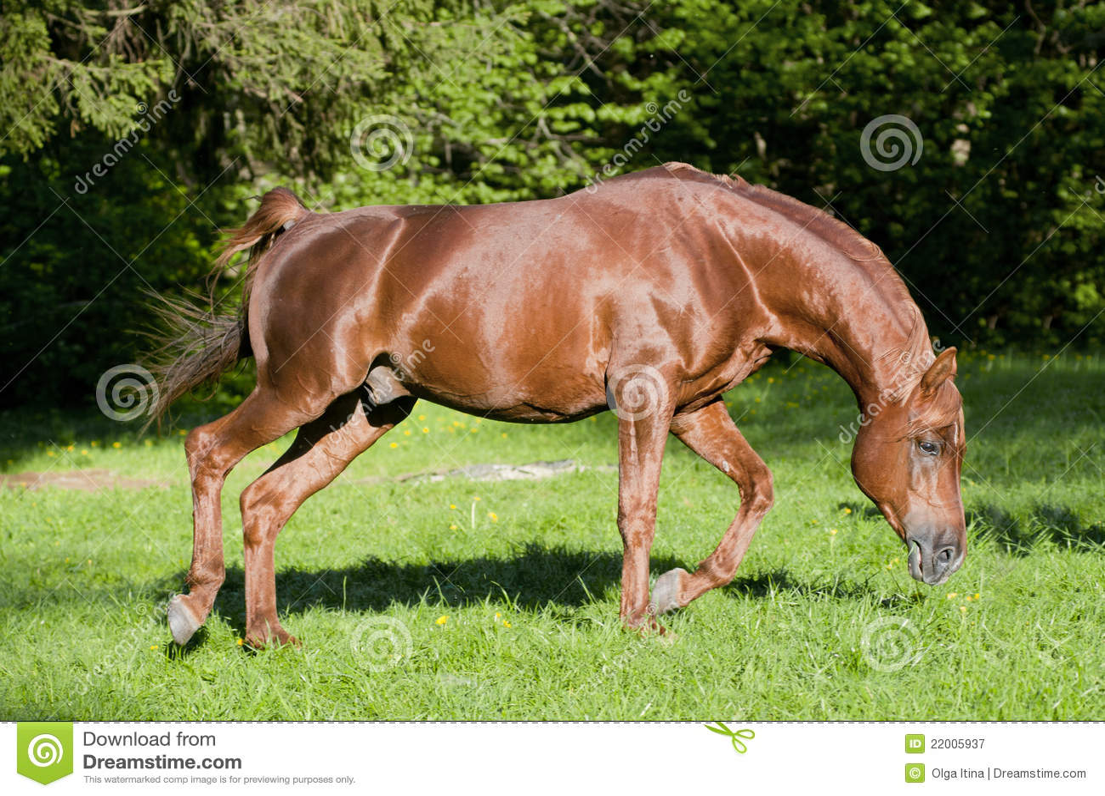 Horse arab run chestnut stock image. Image of pace ... - photo#50