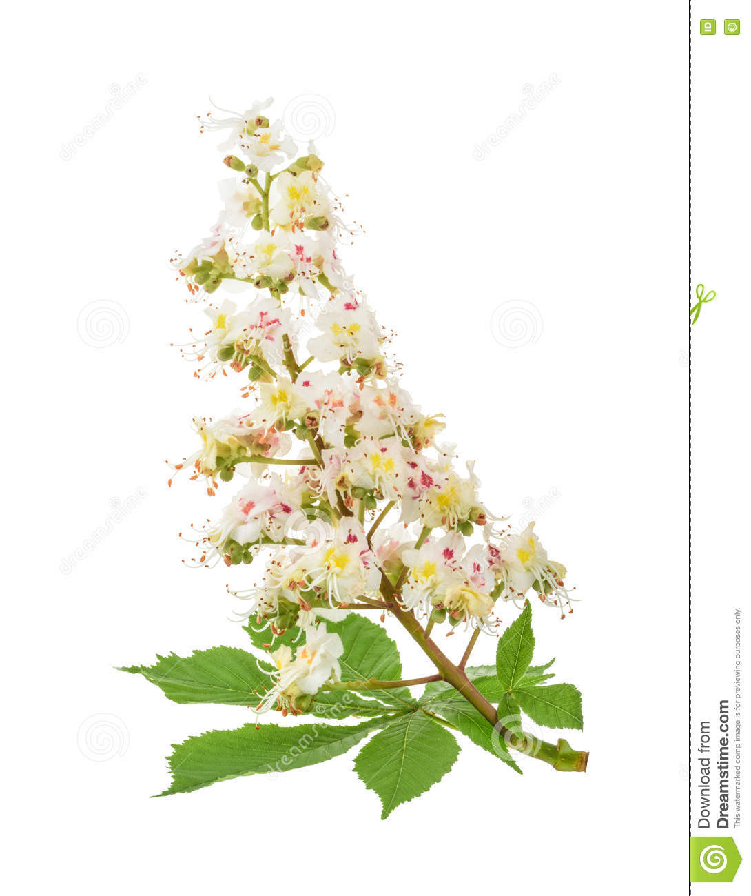 Download Horse-chestnut (Aesculus Hippocastanum, Conker Tree) Flowers Iso Stock Image - Image of close, natural: 71142225