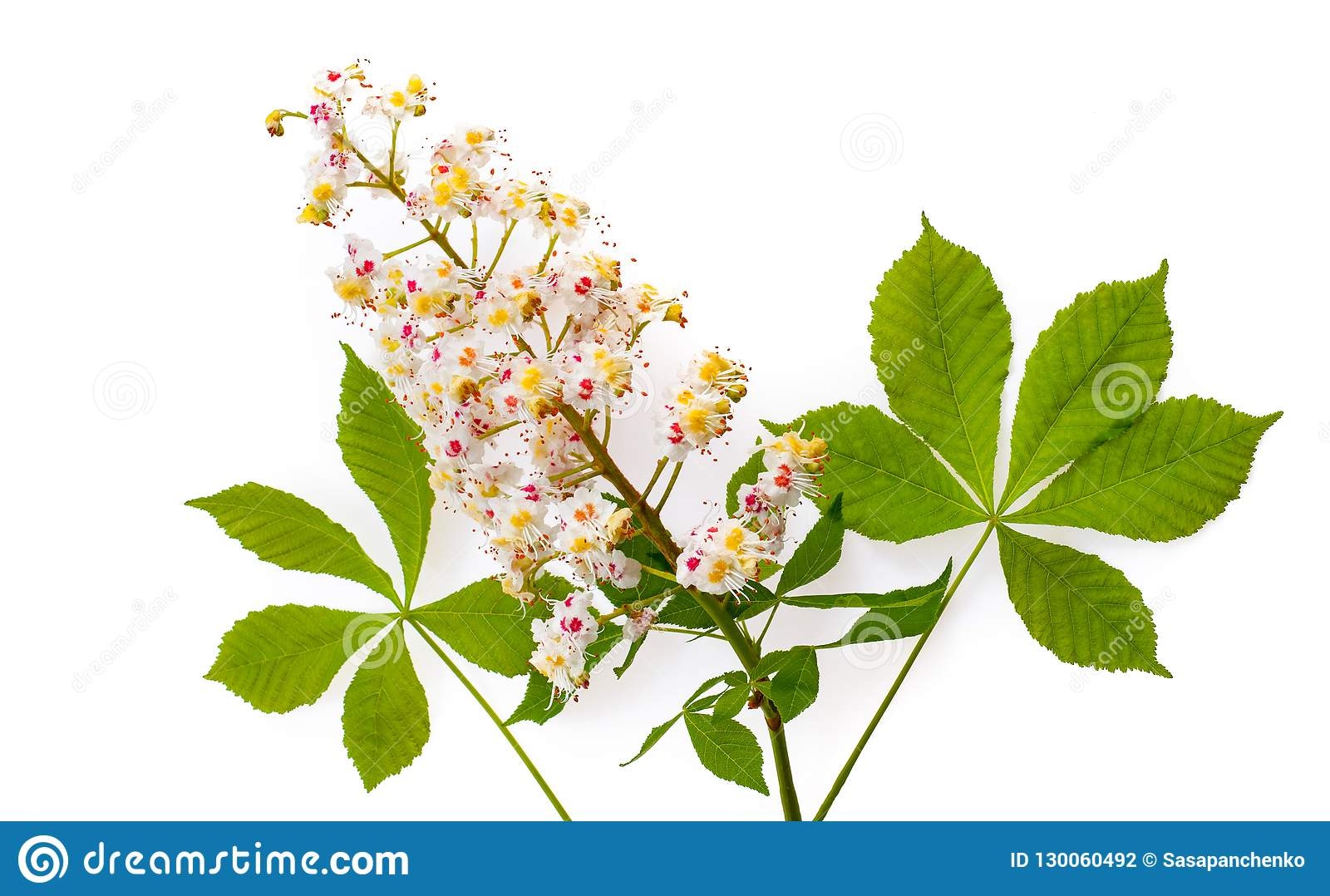 Horse-chestnut Aesculus with leawes and flower. Isolated on wh