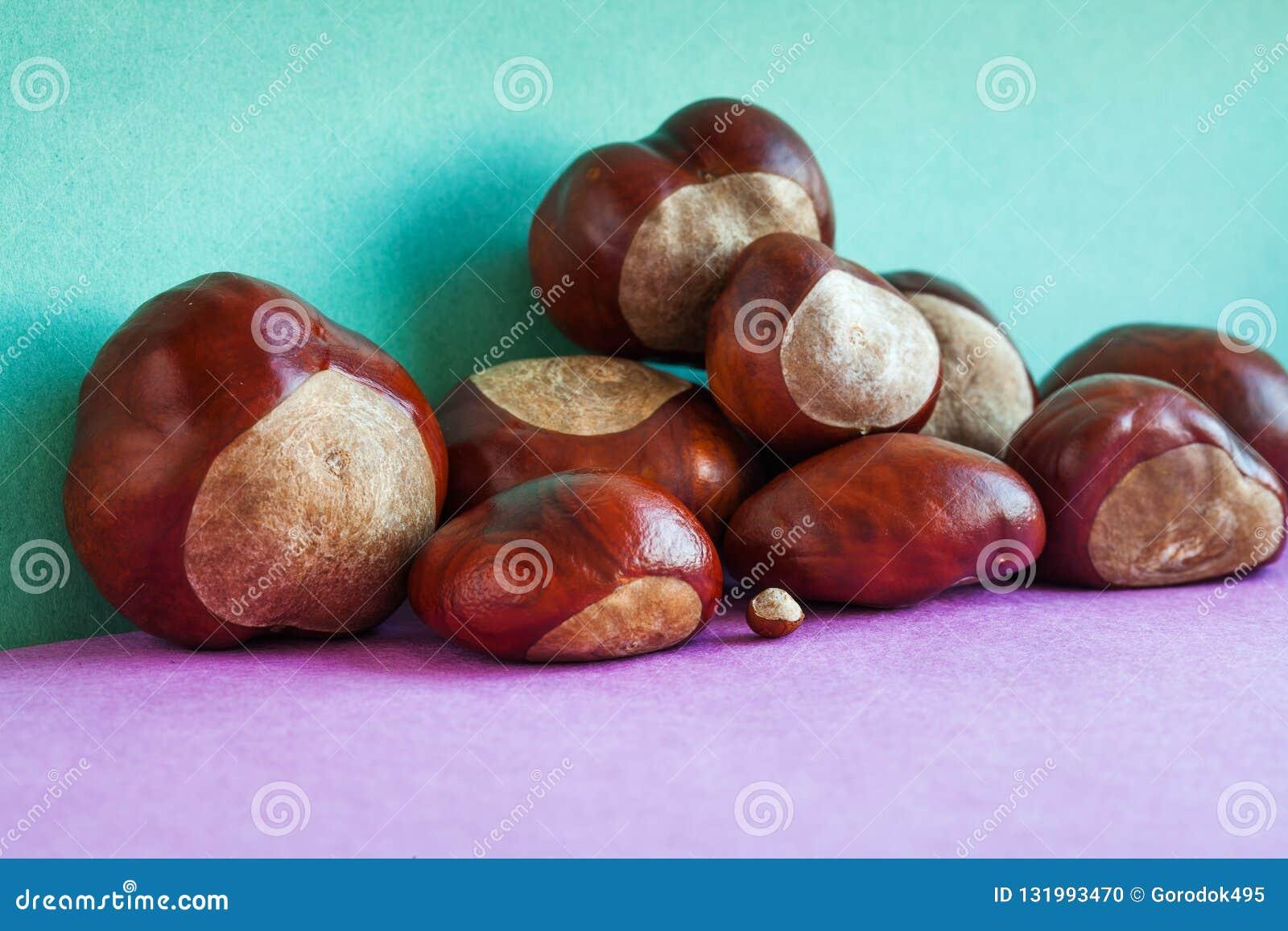Horse chestnut seeds on purple green background. Autumn artistic still life with Aesculus hippocastanumon ripe Buckeye