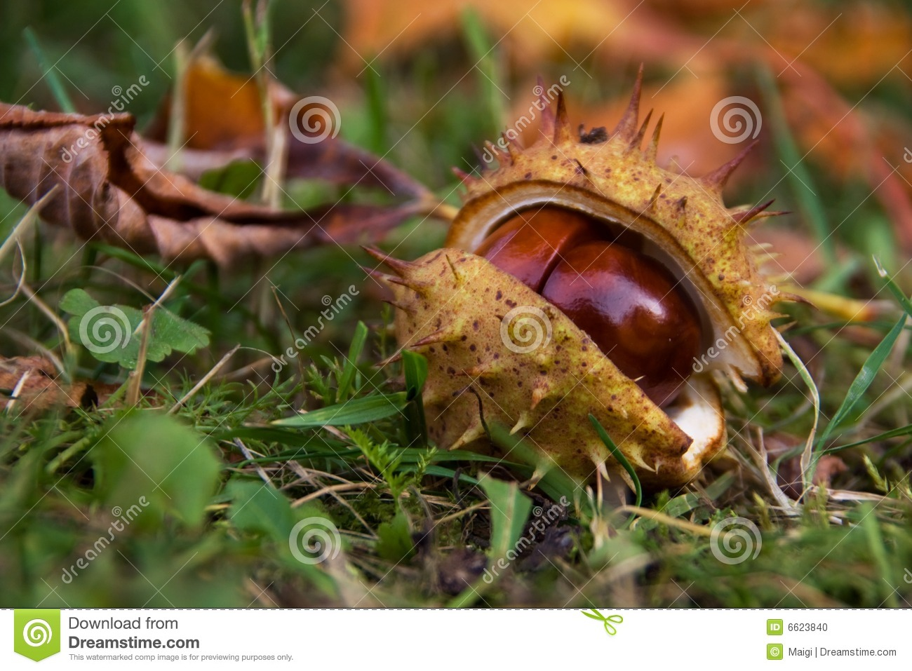 Horse chestnut in shell