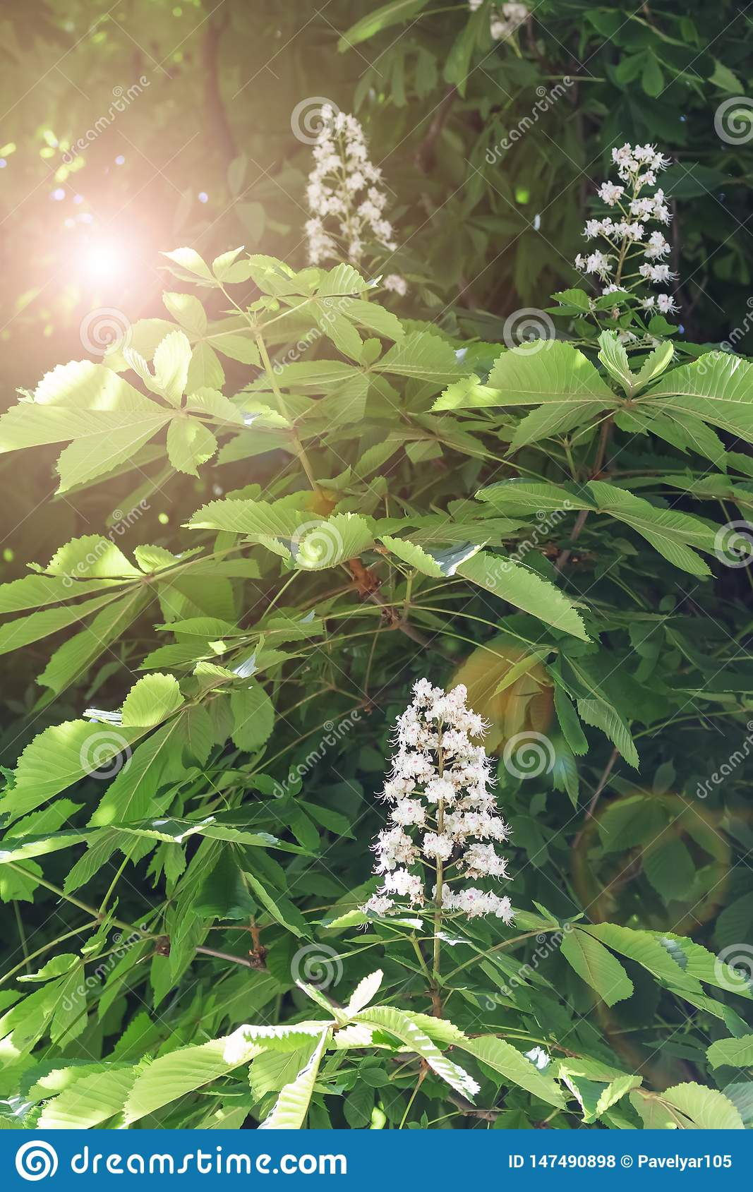 Horse chestnut white flowers on a branch with green foliage on