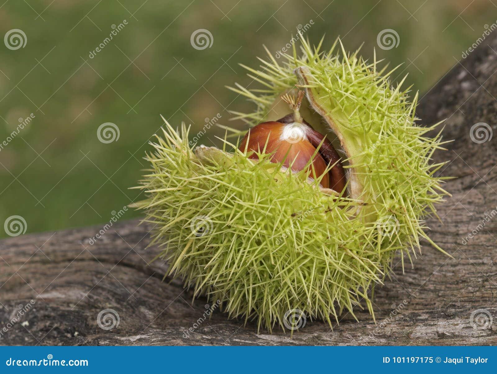 Horse chestnuts in their case