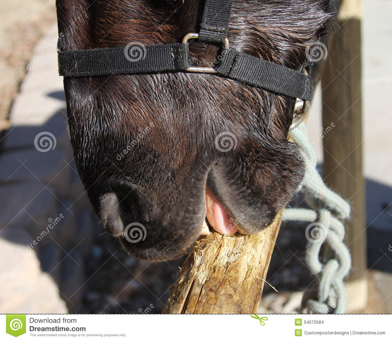 Download A horse chewing wood. stock photo. Image of mouth, west - 54570584